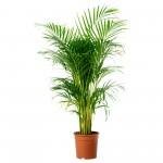 areca palma