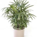 damska palma