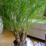 patuljasta palma